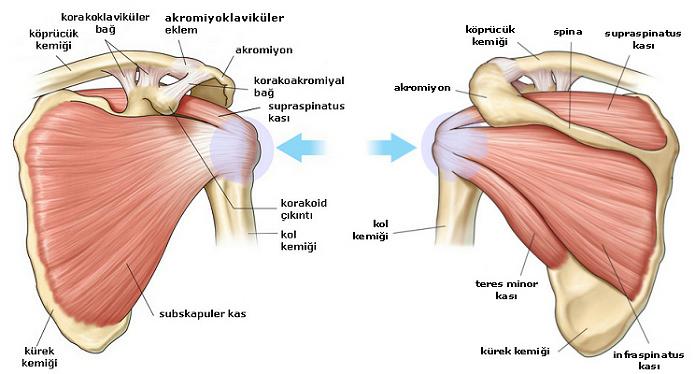 omuz anatomisi