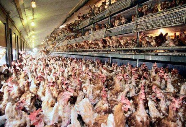 tavukların dramı